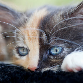 by John CHIMON - Animals - Cats Kittens