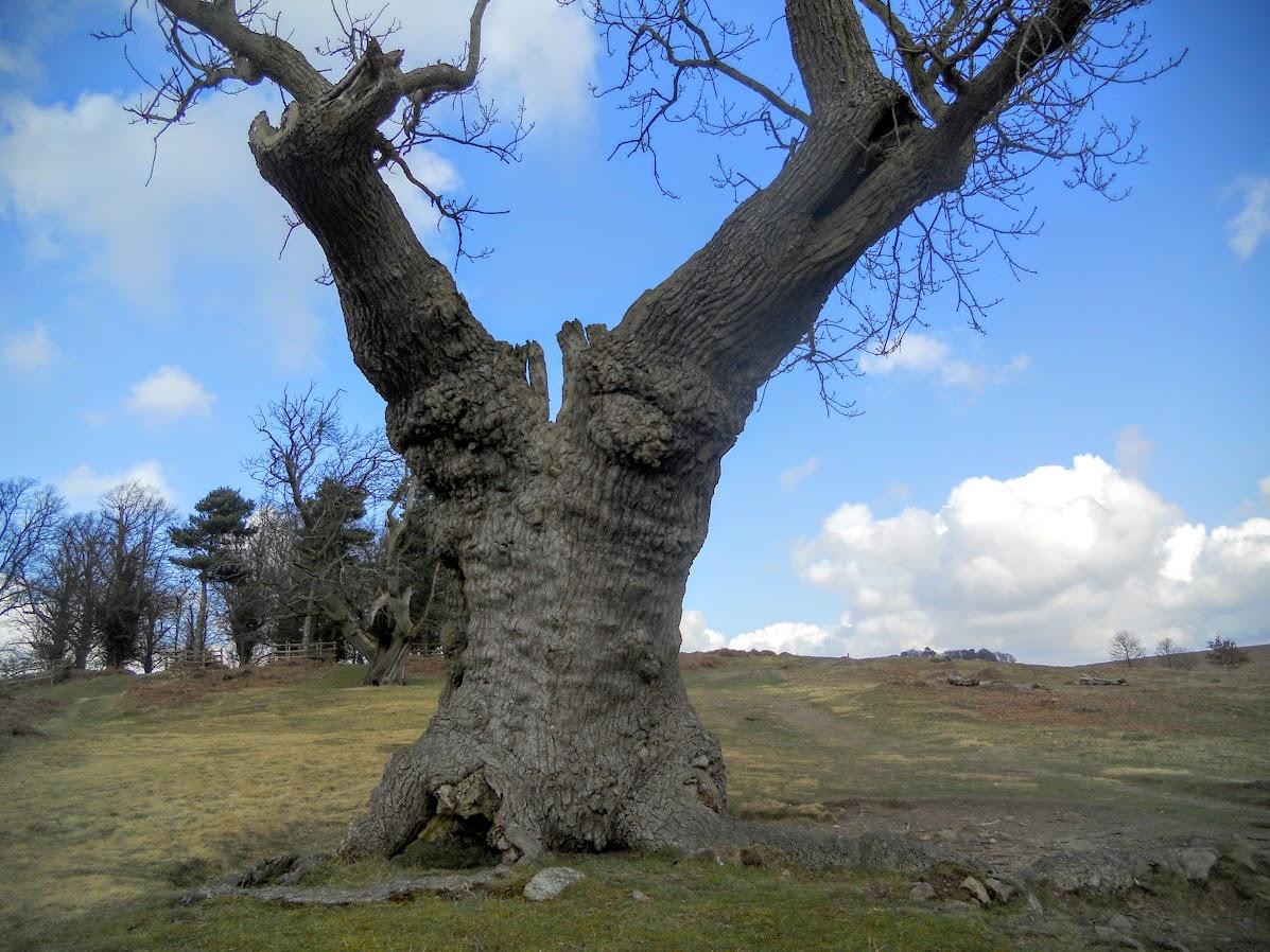 Old Oak Tree in Bradgate Park