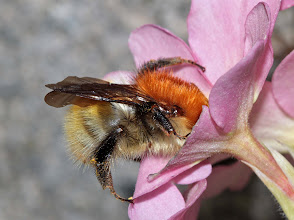 Photo: Carder Bee on a pink primrose