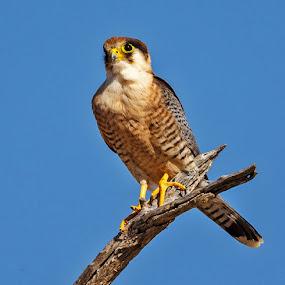 Rednecked Falcon by Jan Fourie - Animals Birds