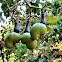 Unripe Cashew fruit