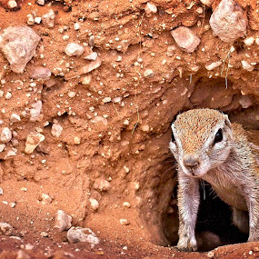 My Home by Anne-Marie  Fuller  - Animals Other Mammals ( squirrel, nature, nature up close, ground squirrel, nature photography, wildlife,  )