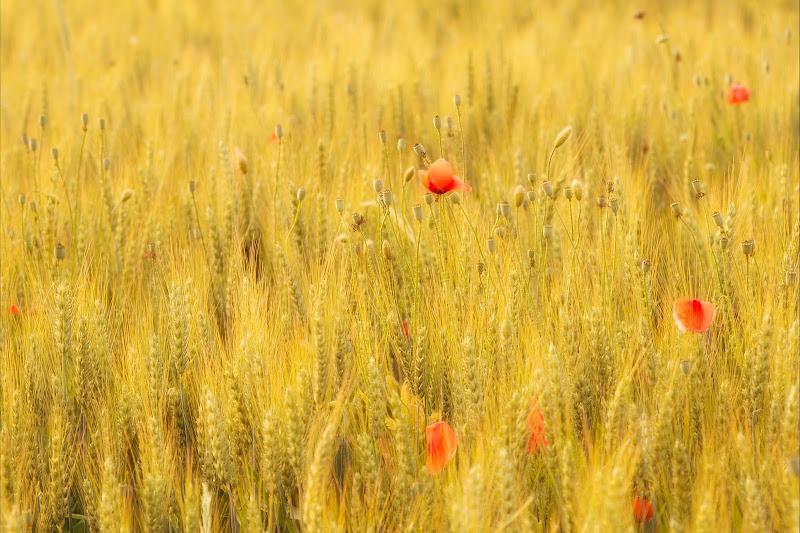 Macchie di rosso nel grano di Alexx70