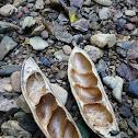 Moreton Bay Chestnut (seed pod)