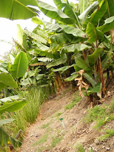 Photo: Looking across slope from the end of a row. The Vetiver has prevented erosion and makes walking across the slope far easier. In other parts of the world (Senegal), vetiver has reduced root nematode attack on bananas as well as increasing yield .