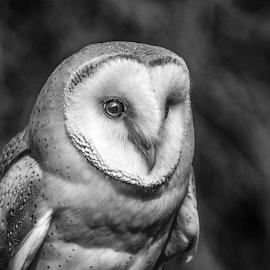 Barn Owl by Garry Chisholm - Black & White Animals ( raptor, bird of prey, nature, barn owl, garry chisholm )