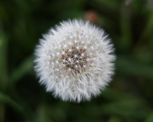 Dandelion Flower di monicar6