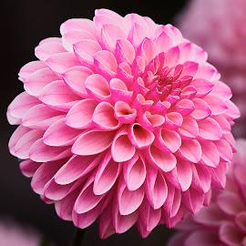 Dahlia 9556~ by Raphael RaCcoon - Flowers Single Flower