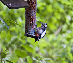 Photo: Bird N°24: Greater Spotted Woodpecker ..... .... ... .. . Latin: Dendrocopos major