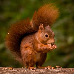 Snacks break by Avtar Singh - Animals Other ( pose, nature, grains, eating, wildlife, squirrel, animal )
