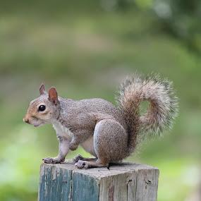 Squirrel Holding Up Paw by Thomas Vasas - Animals Other ( animals, nature, squirrels, wildlife,  )