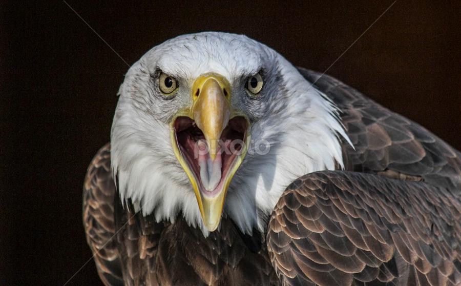 Sam by Garry Chisholm - Animals Birds ( bird, eagle, prey, raptor, bald,  )