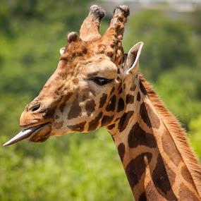 Teasing Giraffe by Tracy Boyd Goodwin - Animals Other Mammals ( tongue, giraffe, funny, teasing, mammal, animal )