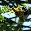 Golden Backed Weaver starts a nest
