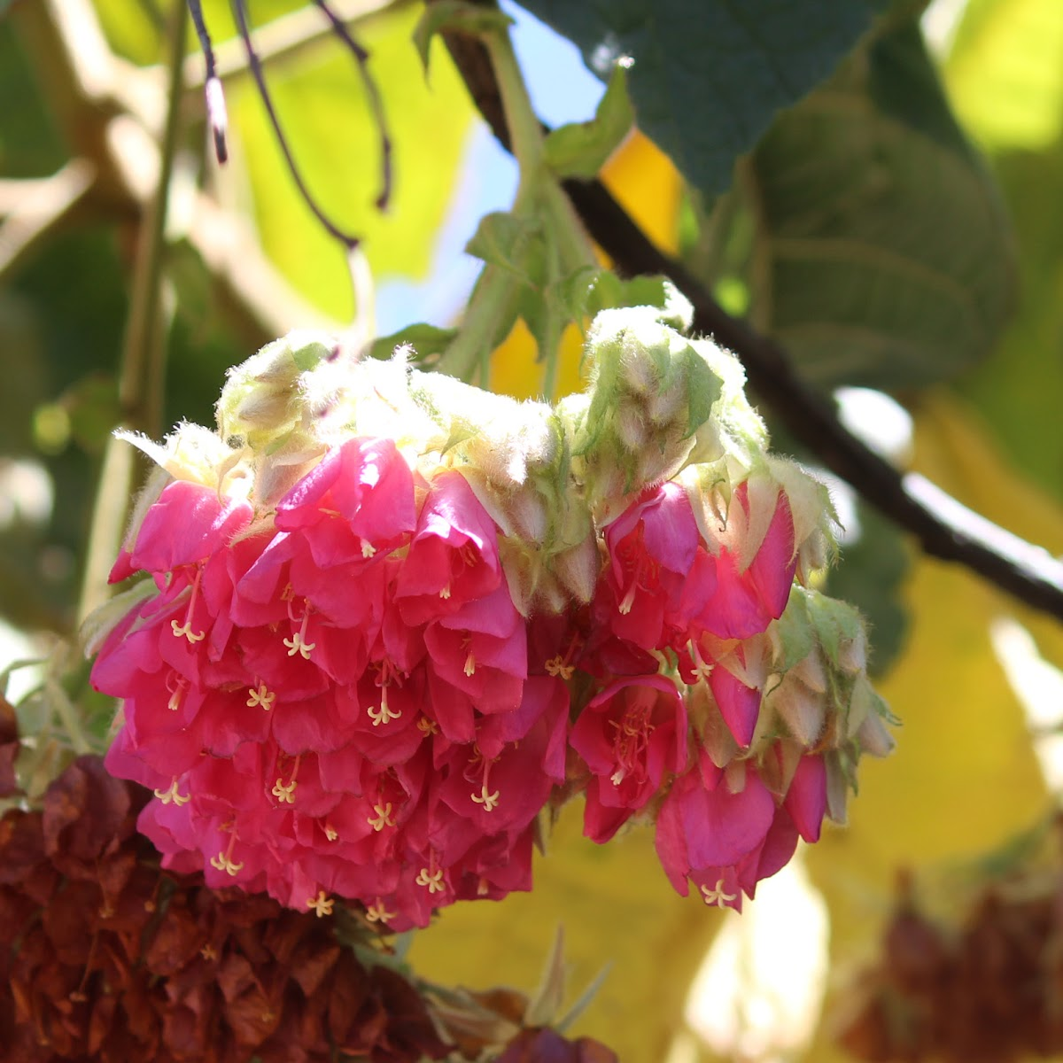 Pink Ball Dombeya  / Tropical Hydrangea