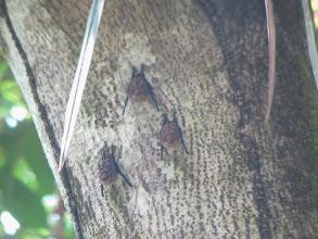 Photo: Insectivorous Bats