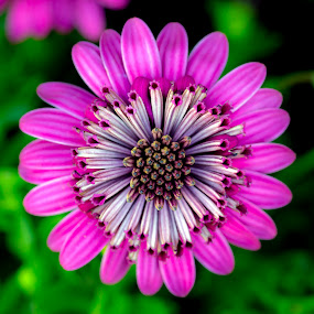 Radiant by Mark Ritter - Flowers Single Flower ( macro, flora, pink, garden, closeup, floral, flower,  )