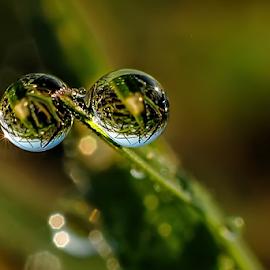 duo dews by Kawan Santoso - Nature Up Close Natural Waterdrops