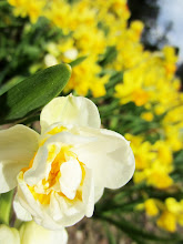 Photo: Creamy fancy daffodil among yellow daffodils at Cox Arboretum in Dayton, Ohio.