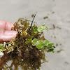 Stalked lettuce leaf algae