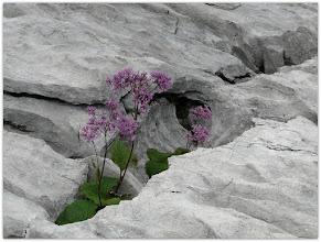 Photo: adenostyles alliariae (Grauer Alpendost) - Fundort: Totes Gebirge