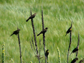 Photo: Immature Red-winged and Yellow-headed Blackbirds