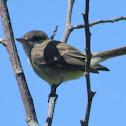 Little Willow Flycatcher