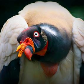 The Condor Gaze  by Esteban Rios - Animals Birds ( bird, condor, wildlife )