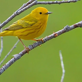 Handsome Yellow Warbler. by Drake Reed - Animals Birds (  )