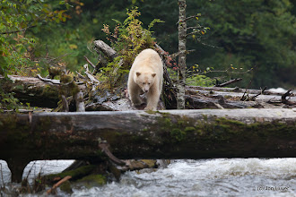 Photo: The bear spotted a fish, and ran over to try to catch it.
