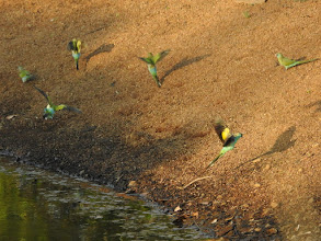 Photo: Day 2 - Hooded Parrots at waterhole