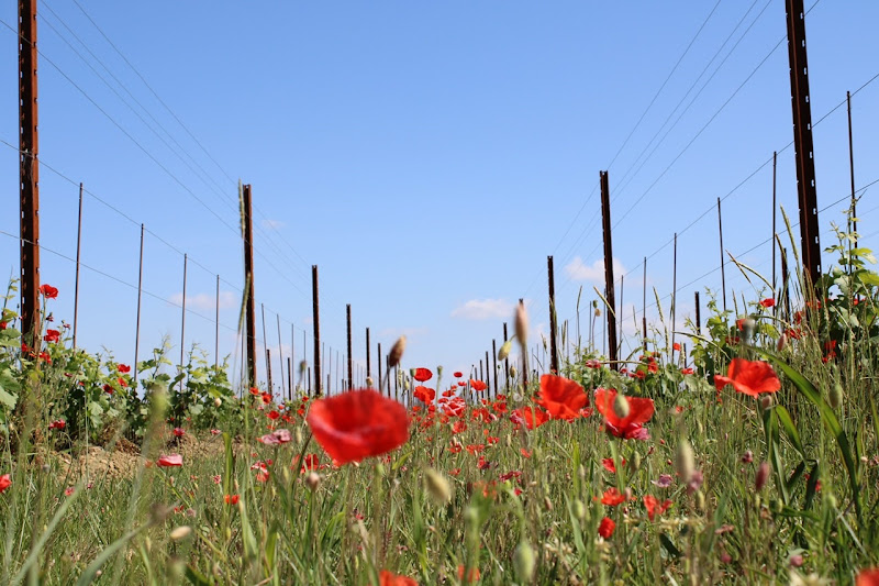 Poppies in the plain di photos_enry