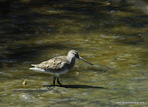 Photo: Long-billed Dowitcher at Laguna de Quelele