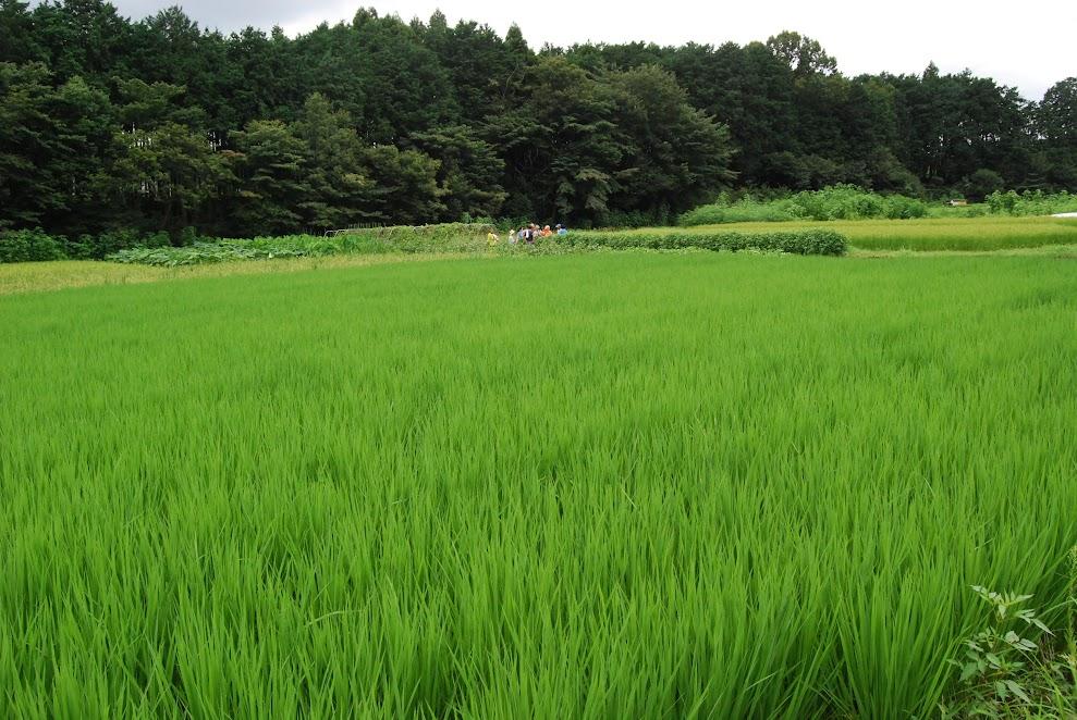 手前が田んぼ。奥がりゅうの畑