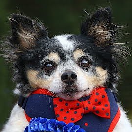 Pedro by Chrissie Barrow - Animals - Dogs Portraits ( chihuahua, fancy dress, ears, fur, portrait, dog )