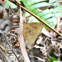 Common Butterfly Moth