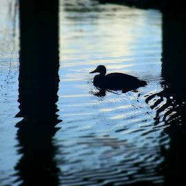 Duck Under by Jordan Parsons - Novices Only Wildlife