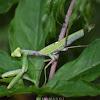 Asian Mantis
