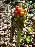 Photo: Arum italicum