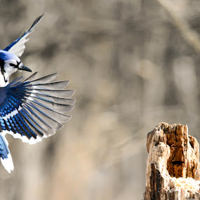 Incoming! by Susan Hughes - Animals Birds