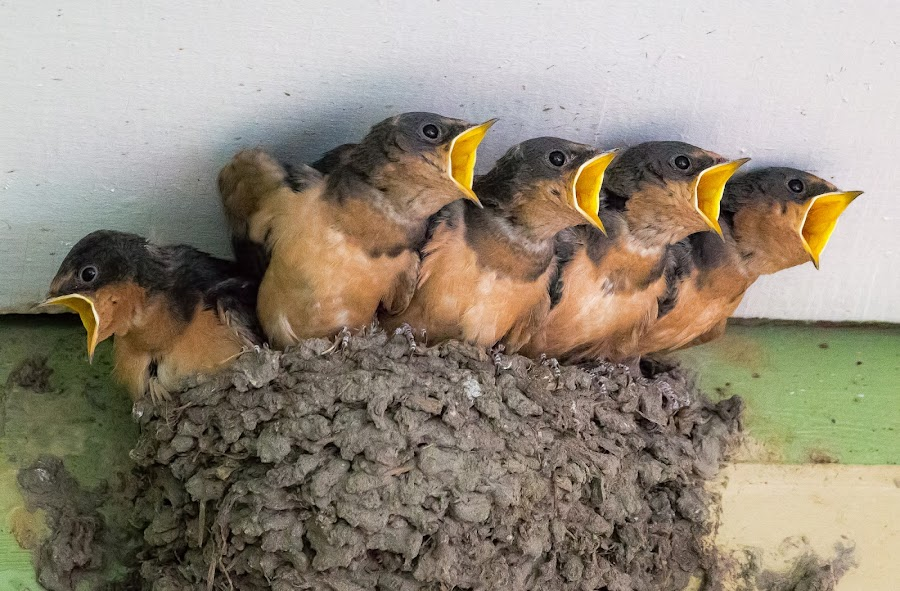 Barn Swallows by Dave Lipchen - Animals Birds ( barn swallows )