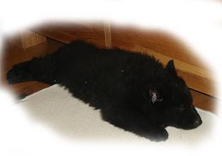 Photo: Zaro ( orange ) hat sich derweil ins Wohnzimmer verzogen und sich dort ein Deckchen geholt zum Ruhen :-) 07.11.12