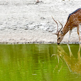 thirsty Times by Jasminder Oberoi - Animals Other Mammals ( canon, wildlife photography, wildlife, klik school, light chasers, indian wildlife, nature, bandhavgarh national park, tala zone, umaria, wildlife photo tour, india, deer, water, canon 5d mark ii, wild, workshop, spotted deer, incredible india, forest, katni, bandhavgarh, photo tour, indian images, klik, masterclass, jas fotography )