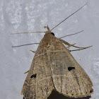 Bleptina Moth