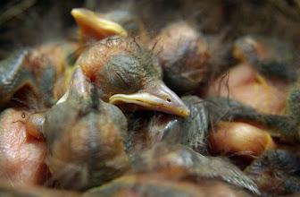 Photo: Common Blackbird (Turdus merula).   For #SongbirdSaturday, curated by +John Briggs.