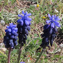 Grape hyacinth. Nazarenos