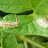 Tortoise Beetle (Larvae)