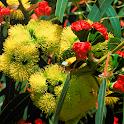 EUCLID Eucalypts of Australia icon