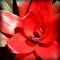 Guzmania 6-27-2015 10-21-07 AM 6-27-2015 10-21-07 AM.JPG