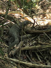 Photo: Monitor Lizards @ Sapi Island